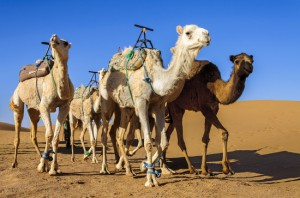 Group od dromedaries in the desert of Hamada Du Draa (Morocco Stone Desert)